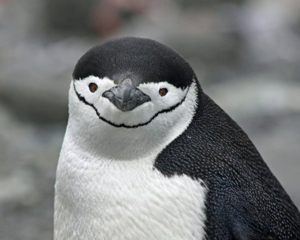 Gentoo or Chinstrap? What do you think?