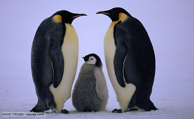 A pair of emperor penguins with chick.