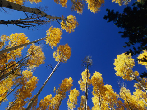 david-edwards-blue-autumn-sky-contrasts-with-the-yellow-aspen-leaves