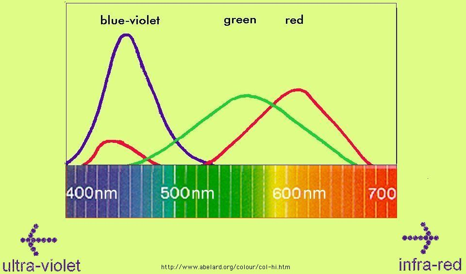 The blue-violet cones are much more sensitive to blue light than violet.